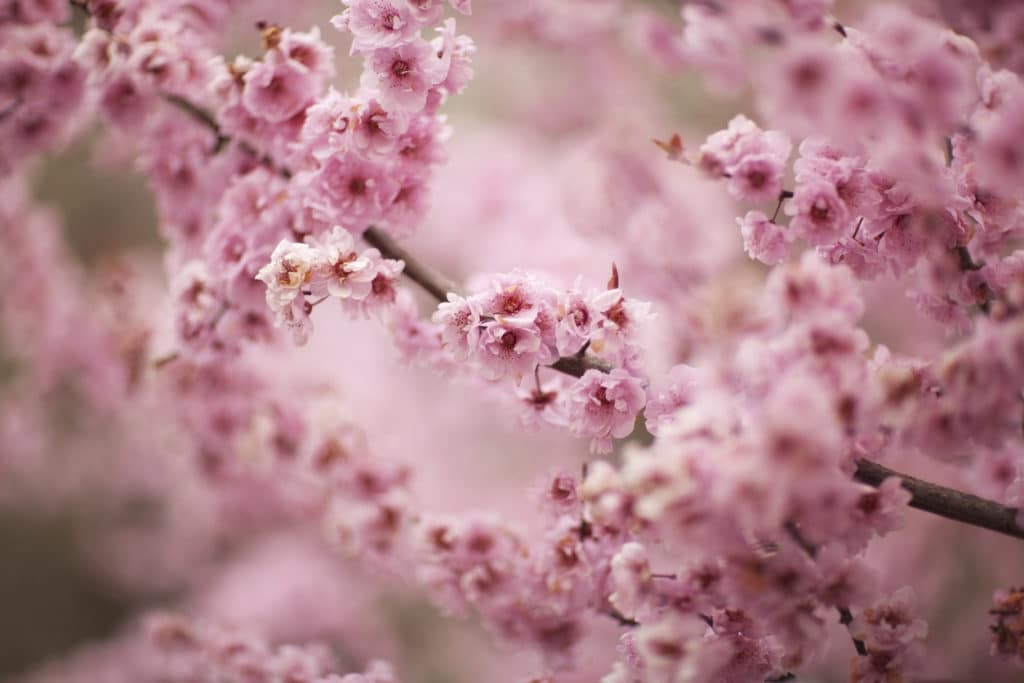 pink cherry blossoms in focus with more branches blurred in the background